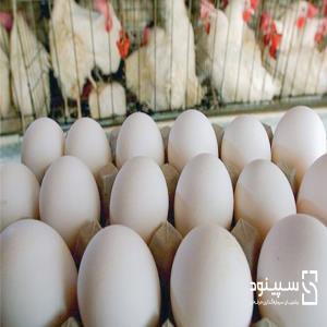امکانسنجی -طرح توجیهی فنی اقتصادی- پرورش طیور صنعتی در قالب فارمهای مرغ تخمگذار