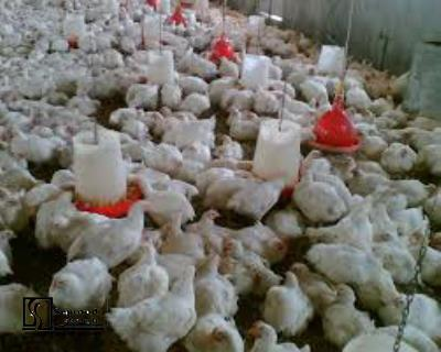 Technical, Financial Feasibility Study of Establishing Production Unit of Aviculture,