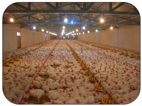 طرح توجیهی  فارم های بزرگ تولید مرغ گوشتی و تخممرغ